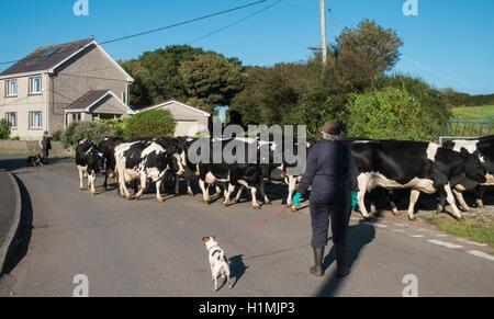 Scène rurale d'agriculteurs déménagement leurs vaches d'un champ à un autre croisement et route de blocage dans Banque D'Images
