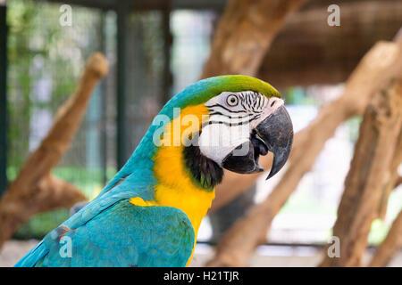 Close up of blue-and-yellow macaw (Ara ararauna) aussi connu comme le bleu et or ara. Banque D'Images