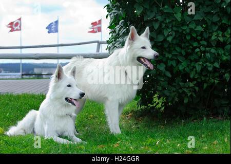 Deux chiens de Berger Blanc Suisse Banque D'Images
