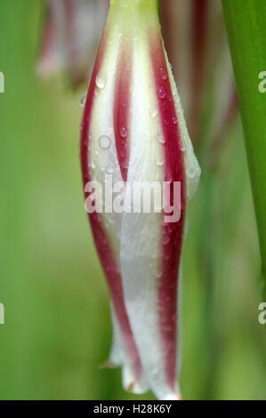 Gouttes de rosée sur le rouge et blanc à rayures fleur, Chutes Victoria, Zambie Banque D'Images