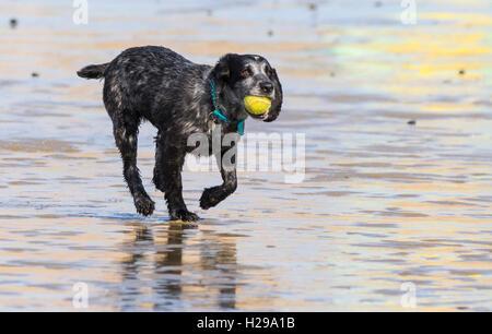 Pointeur noir Mix chien jouant avec une balle sur une plage. Banque D'Images