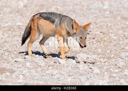 Le chacal à dos noir (Canis mesomelas), la marche sur le sol rocheux, Etosha National Park, Namibie, Afrique Banque D'Images