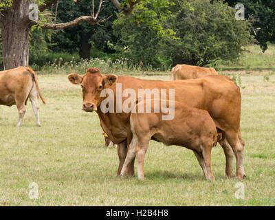 Vache et veau de lait du Limousin dans un site de verdure