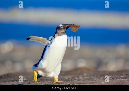 Gentoo pingouin (Pygoscelis papua papua) transportant le matériel du nid, îles Falkland, l'atlantique sud