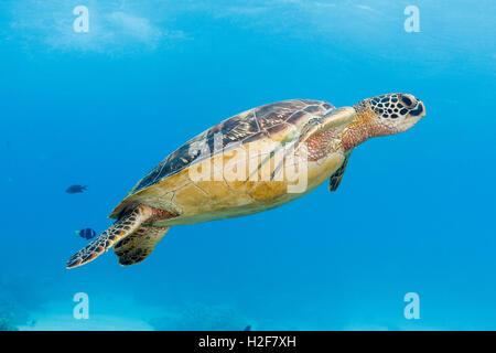 La tortue verte (Chelonia mydas) Apo Island, Philippines Banque D'Images