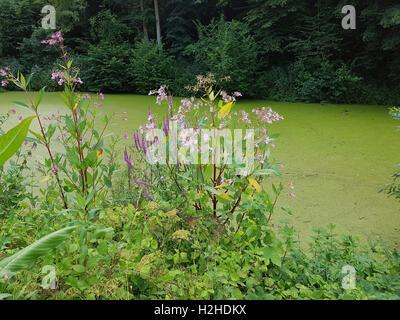 Druesiges; Impatiens glandulifera, Springkraut, heilpflanze