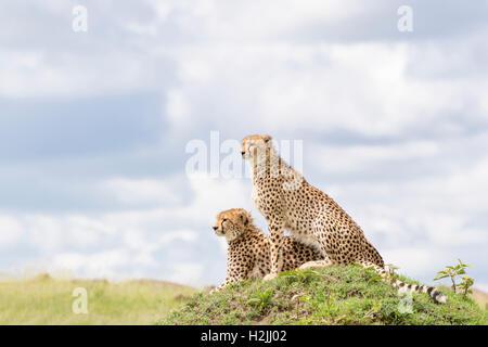 Cheetah (Acinonix jubatus) assis sur une colline donnant sur la savane, Maasai Mara National Reserve, Kenya Banque D'Images