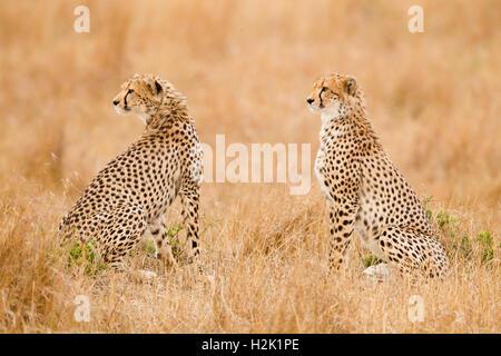 Deux guépards assis à côté de l'autre et à la recherche sur le côté Banque D'Images