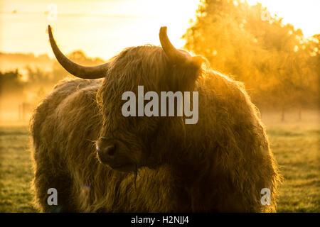 Vache highland au lever du soleil Banque D'Images