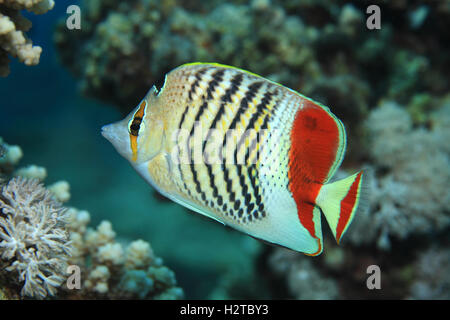 Papillons (Chaetodon paucifasciatus Redback) sous l'eau à la barrière de corail de la mer Rouge Banque D'Images