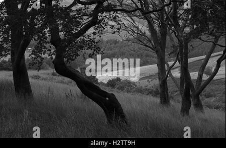 """""""Le lonely tree' de mâcher du Dovestone Pièce Plantation, Réservoir, Greenfield Banque D'Images"""