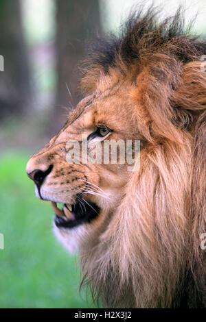 L'African Lion, Panthera leo, au Zoo du Comté de Cape May, New Jersey, USA Banque D'Images