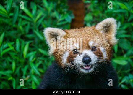 Le panda rouge Close up Banque D'Images