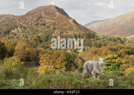 Moutons Herdwick et Helm Crag Près de Grasmere en automne, Lake District National Park, Royaume-Uni