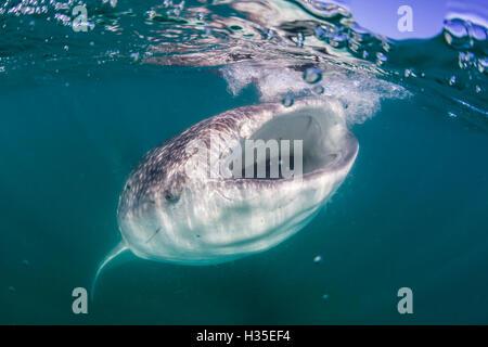 Requin-baleine (Rhincodon typus), l'alimentation du filtre sous l'eau au large de El Mogote, près de La Paz, Baja California Sur, Mexique