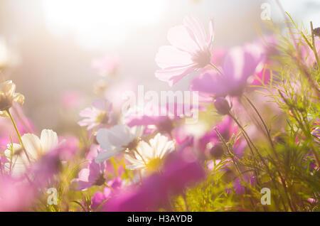 La camomille en violet Banque D'Images