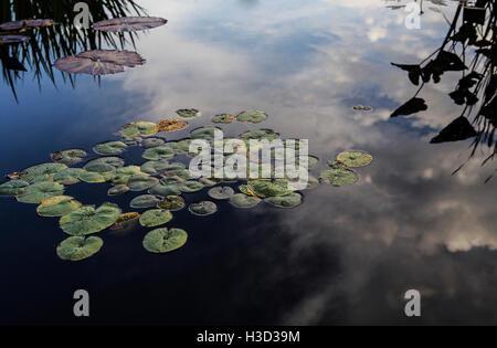 Portrait de lotus feuilles flottant sur le lac Banque D'Images