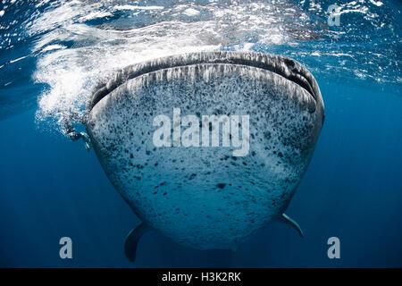 Requin-baleine (Rhincodon typus) verticalement dans l'eau d'alimentation, de l'Île Contoy, Mexique Banque D'Images