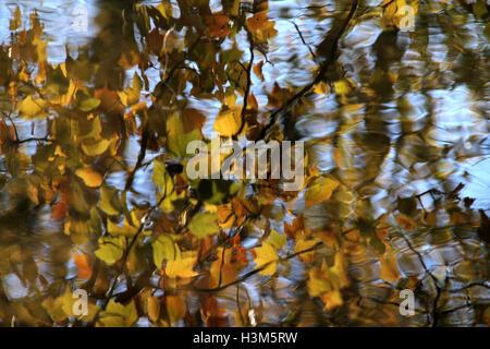 Branche de feuilles jaunes se reflétant dans l'eau de la rivière en automne Banque D'Images