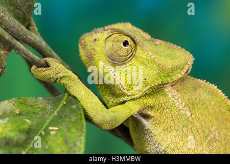 Close up d'un caméléon de taille moyenne, vert Banque D'Images