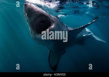 Grand requin blanc (Carcharodon carcharias) nager près de la surface, l'océan, Afrique du Sud Gansbaai Banque D'Images
