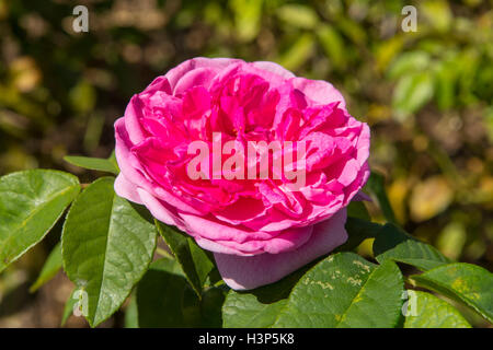 Rosa Gertrude Jekyll Banque D'Images