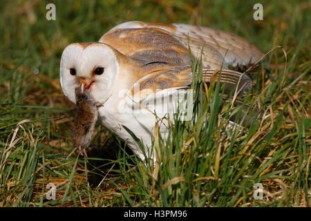 Effraie des clochers Tyto alba sur le terrain avec les proies une courte queue vole il vient prendre Banque D'Images