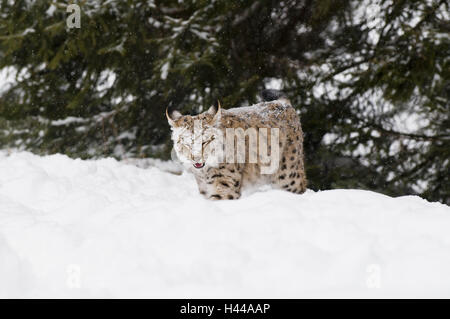 Le lynx, Lynx lynx, la neige, à pied, de la tête, Big cat, predator, des mammifères, des animaux, l'élevage, les Banque D'Images