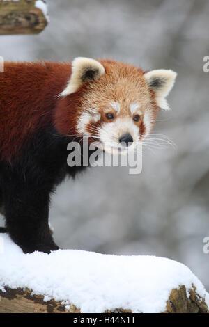 Le panda rouge, Ailurus fulgens, portrait, hiver, neige, Banque D'Images