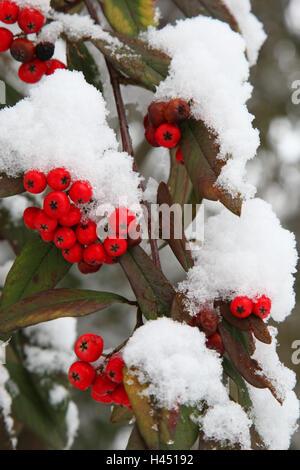 arbuste boule de neige banque d 39 images photo stock 49123128 alamy. Black Bedroom Furniture Sets. Home Design Ideas