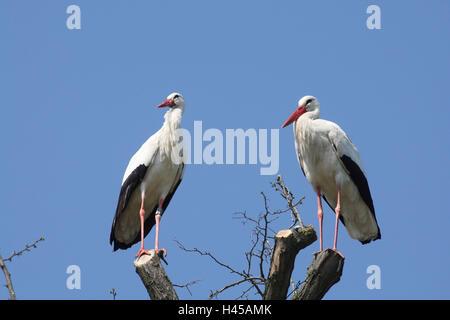 Cigogne blanche, Ciconia ciconia, deux, arbre, s'asseoir, Banque D'Images