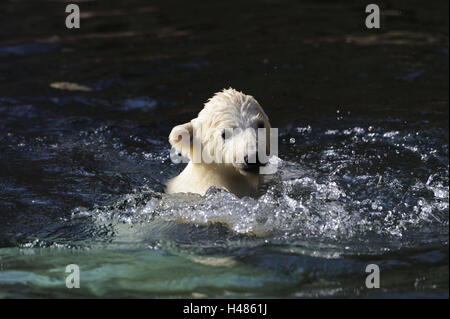 L'ours blanc, Ursus maritimus, jeune animal dans l'eau, Banque D'Images