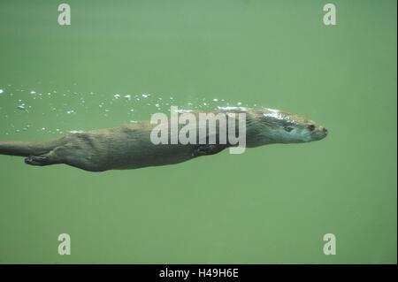 Loutre d'Europe, Lutra lutra, sous l'eau, vue latérale, plongée,
