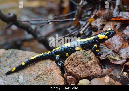 Salamandre Terrestre Européen, Salamandra salamandra, Bavaria, Germany, Europe Banque D'Images