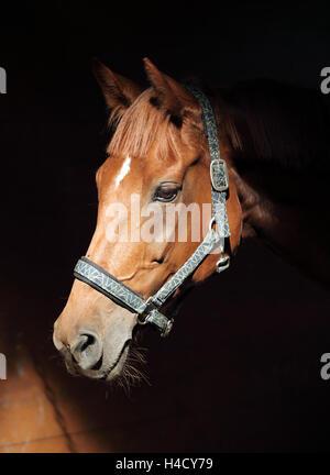 Touche Bas cheval de race headshot dans the stables Banque D'Images