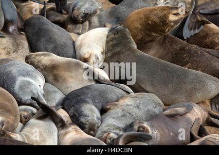 Brown sur colonie de phoques de Cape Cross en Namibie, Afrique du Sud Banque D'Images
