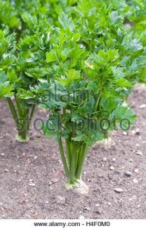 Apium graveolens var. rapaceum. 'Céleri-rave Prinz poussant dans un jardin potager. Banque D'Images