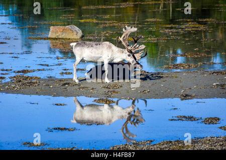 Réflexion d'un renne blanc sur l'eau près d'Alta en Norvège Banque D'Images