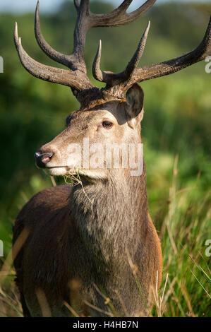 Red Deer Portrait à la lumière du jour. L'image montre un cerf dans son environnement. Banque D'Images