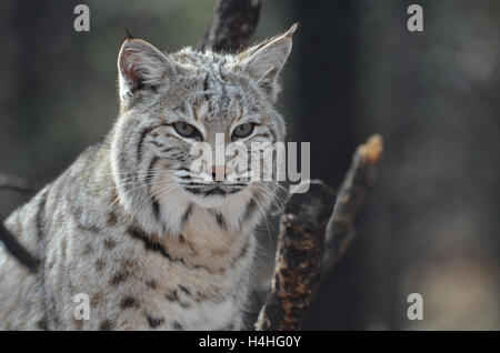 Superbe visage d'un Lynx du Canada No de cat. Banque D'Images