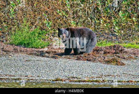 Ours noir (Ursus americanus), Ucluelet, Réserve de parc national Pacific Rim, l'île de Vancouver, Colombie-Britannique, Canada