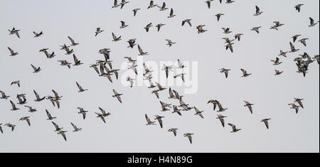 Troupeau d'oies de bernache en vol et d'hivernage au Loch Strathbeg, près de Fraserburgh, Ecosse Banque D'Images