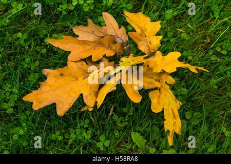 Bouquet de feuilles de chêne séchées jaune vert sur l'herbe fraîche avec quelques gouttes de pluie, avec scène de Banque D'Images