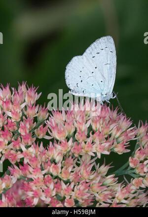 Holly, Celastrina argiolus papillon bleu, sur sedum Banque D'Images