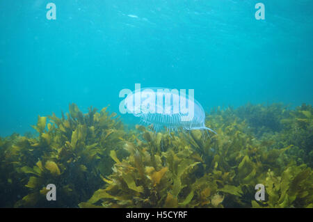 Les méduses planant au-dessus de varech Banque D'Images