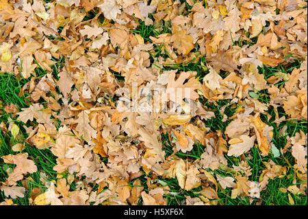 Les feuilles tombées sur l'herbe. Une pelouse recouverte de feuilles d'érable tombé. Banque D'Images