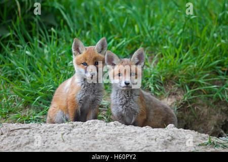 Deux red fox (Vulpes vulpes) louveteaux / kits assis à l'entrée de den dans le pré au printemps Banque D'Images