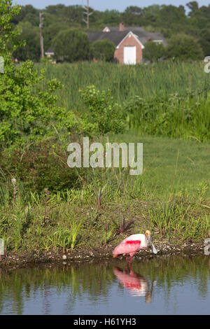 Roseate spoonbill (Platalea ajaja) le long du bord de l'étang artificiel en milieu rural en Louisiane Banque D'Images