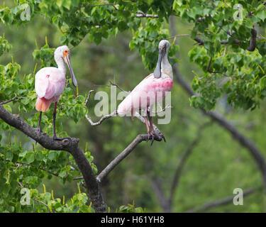 Roseate spoonbill Platalea ajaja (paire) perché dans l'arbre à rookery Banque D'Images