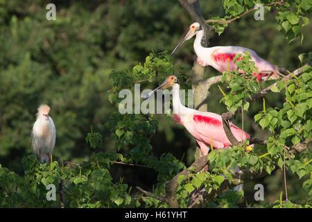Roseate spoonbill Platalea ajaja (paire) perché dans l'arbre à rookery avec Héron garde-boeufs (Bubulcus ibis) Banque D'Images